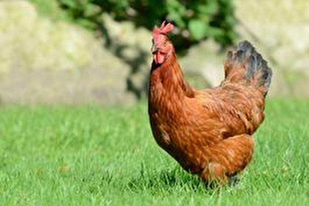 poule pondeuse morbihan